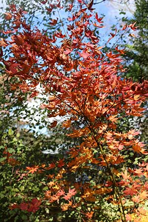maple tree with red leaves in autumn