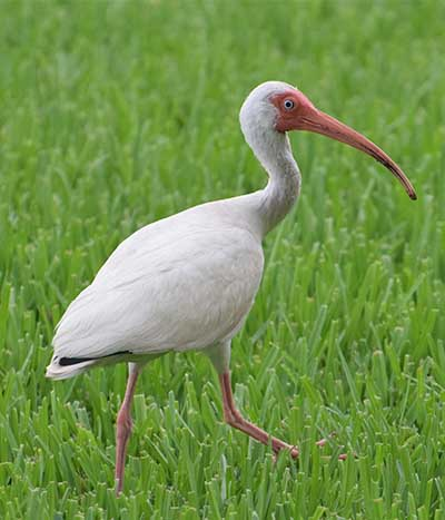 ibis in grass field